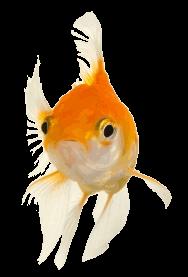 Goldfish lookijng at you